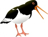 Oyster Catcher Bird