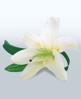 White Lily Vector Graphics (Free)
