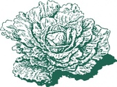 Dutch Cabbage