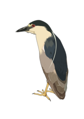 Bihoreau gris - Night heron
