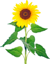 Sunflower PSD