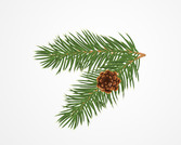 Pine or Christmas Tree Branch with a Cone
