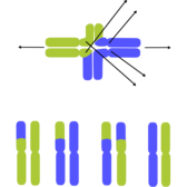 Translocated Chromosomes