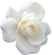 White Rose - Cut Out PSD