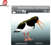 Ostrero Oyster Catcher