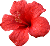 Big Red Hibiscus PSD