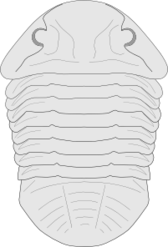 Fossil of the asaphus species