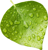Wet Leaf PSD