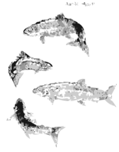 Atlantic Salmon (autotrace)