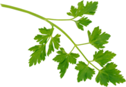 Parsley PSD