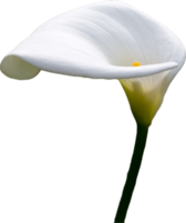calla lilly PSD