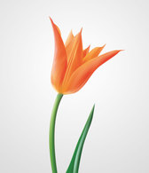Orange Tulip Vector Graphics (Free)