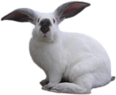 French Lop Rabbit PSD