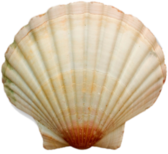 SEA SHELL 12 PSD
