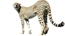 Cheetah PSD