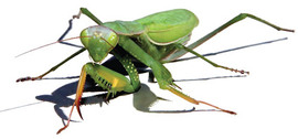 AI Realistic Rendering Of Vector Graphic Mantis