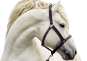 most beautiful white horse PSD