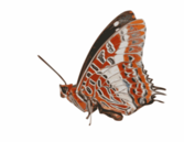 Charaxes brutus - butterfly