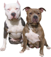 Two Pit Bulls PSD