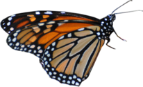 Monarch Butterfly PSD