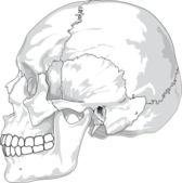 Human Skull Side View