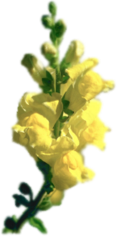 Yellow Snapdragon Flower PSD