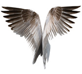 Set of Natural Wings with Feathers PSD