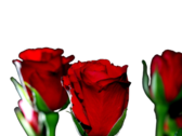 Red Roses PSD